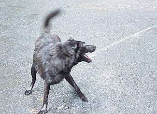 A black Labrador/German Shepherd mix is standing on a black top and biting at a stream of water