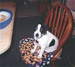 A white with brown and black Parson Russell Terrier Puppy is sitting in a wooden chair on a cushion and it is looking up.