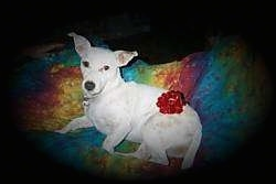 A white Parson Russell Terrier is laying on its right side on a colorful blanket. It has a red ribbon on its back side.