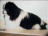 Side view - A black with white Japanese Chin is sitting on a table