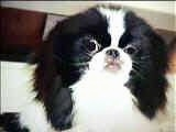 Close Up head shot - A white and black Japanese Chin