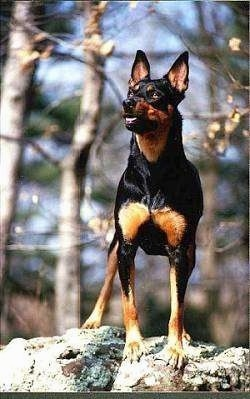 A black with brown Australian Kelpie is standing on a rock with its mouth open and it is looking to the left.