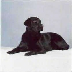 A black Labrador Retriever is laying on top of a white backdrop and looking to the right