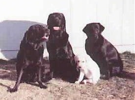 Three adult black Labrador Retrievers are sitting in grass and there is a yellow lab puppy sitting with them in front of a large white building.