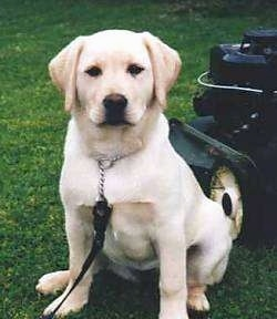 A yellow Labrador Retriever is sitting in grass with a black lawn mower behind it.