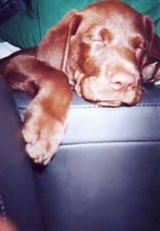 A chocolate Labrador Retriever puppy is sleeping with its paw hanging over the side of a black leather couch