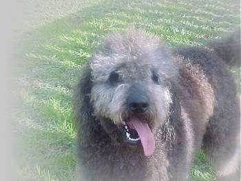 The front right left side of an Australian Labradoodle that is standing in a field with its mouth open and tongue out. It is looking forward and there is a white vignette around the image.