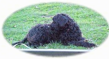 The right side of a black Australian Labradoodle that is laying in a field and it is lookign to the left.