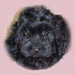Close Up - A black Australian Labradoodle puppy's face that has a pink vignette around it.