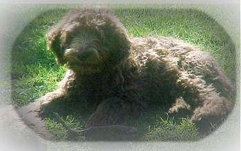 Australian Labradoodle laying down in a yard