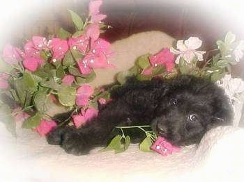 Australian Labradoodle  puppy laying down on a couch surronded in flowers