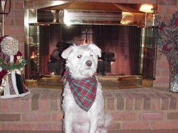 Bogey the dog wearing a Christmas bandana sitting in front of a fireplace