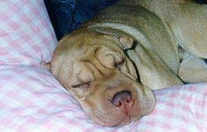 Billy Boy the Shar-Pei sleeping on a couch on a pillow