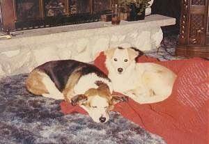 Taffy (left) and Lucky (right) the Beagle/Basset Hound Mix laying on a blanket