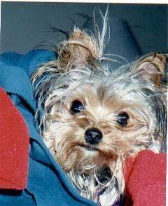 Close Up - Niblet the Yorkie in the lap of a person