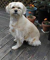 A medium-haired, tan with white Terrier mix is sitting on a wooden deck with potted plants behind it.