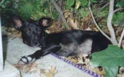 A perk-eared, large, black mixed breed dog is laying on its side in the bushes next to a porch.