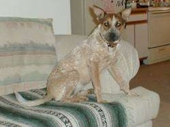 A perk-eared, tan with white Red Heeler/Rat Terrier mix puppy is sitting on the edge of a couch that has a green, white and black blanket on it. It is looking to the left towards the camera.