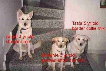 Three mixed breeds are sitting on  a spiral staircase. The words - Angel 3yr old shephard mix - is over top of the left most dog. The words - Brownie 3yr old german short hair dog - is overlayed on the middle dog at the bottom of the steps. The words - Tasia 5yr old border collie mix - are over top of the right most dog.