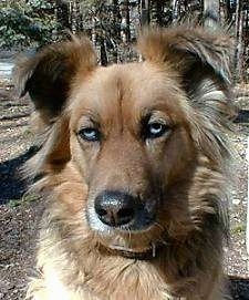 Close up head shot - A brown Australian Shepherd mix with fringe hair on its ears and the sides of its neck is sitting in dirt looking forward.