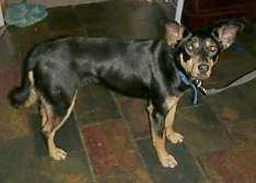 Side view - A black with tan Australian Kelpie/German Shepherd mix is standing on a dark tiled floor looking with its head turned towards the camera