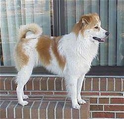 Right Profile - A medium-haired, white with tan mixed breed dog is standing on a  brick step in front of a door. Its mouth is open and tongue is out and tail is curled over its back.