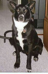 A perk-eared, black with white German Shepherd/Labrador mix is sitting on a tan carpet with an entertainment stand to the right of it.