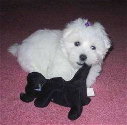 A shorthaired white Maltese is laying on a pink carpet with the tail of a black plush dog in its mouth. It has a purple ribbon in its top knot.