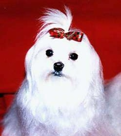 Close up upper body shot - A longhaired white Maltese is sitting on a red backdrop wearing a red and green ribbon in its top knot.