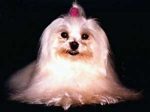 view from the front - A long coated white Maltese is sitting on a black backdrop and wearing a red scrunchy in its top knot.