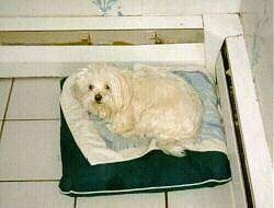 A longcoated white Maltese is laying on top of a pillow in the corner of a white tiled room next to heater baseboard registers looking up.