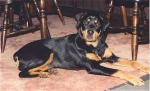 Naxxine the Rottweiler laying on a carpet under a table