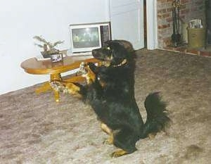 Pepper the Rottweiler/Lab sitting on its hindlegs with the front paws in the air