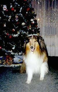 Sable the dog sitting in front of a christmas tree with its mouth open