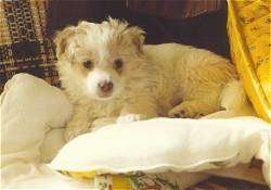Tucker the Terrier/American Eskimo mix as a puppy laying on a couch on top of some pillows