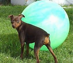 A black and tan Miniature Pinscher is standing in grass with a large green ball behind it. The ball is larger than the dog.