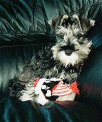 A black with tan Miniature Schnauzer is laying against the arm of a black leather couch. There is a toy in front of it.