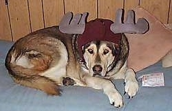 A brown with tan and white Malamute/Labrador mix is laying on a bed and it is wearing a hat that has antlers on it.