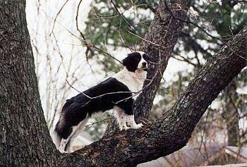 Meg the Border Collie mix is standing  up high in a tree and looking to the left