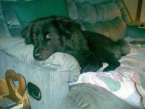 A fluffy, black German Shepherd/Chow Chow mix is laying on a light blue couch with its head on the arm.