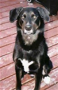 A black with white Collie/Labrador/German Shepherd mix is sitting on a red wooden porch and looking up.