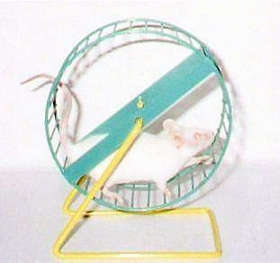An albino mouse is running on a green and yellow metal exercise wheel.