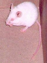 An Albino mouse is standing at the back of its current enclosure. It is looking to the left.