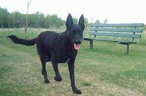 A perk-eared, black with white black Labrador/German Shepherd mix is running across grass. Its mouth is open and its tongue is out. There is a green bench behind it.