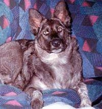 A brown with white German Shepherd/Timber Wold/Jack Russell Terrier/Blue Heeler mix is laying on a couch covered in a blue blanket that has a pink and purple diamond pattern .