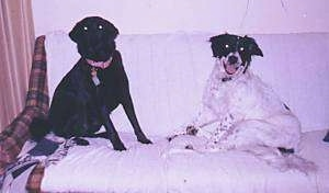 A black Labrador mix is sitting on a couch next to a Springer Spaniel/Border Collie mix. The Collie mix has its mouth open and it looks like it is smiling. They both are looking forward.