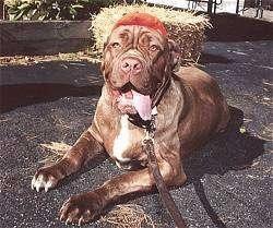 Front view - A panting, wrinkly, brown with white Neapolitan Mastiff is laying on a black top surface with its tongue hanging to the right of its mouth. Behind it is a bale of hay.