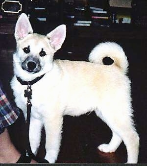 Left Profile - A perk-eared, tan with white Norwegian Buhund puppy is standing on a dark floor looking forward with its tail curled up over its back. There is a person in front of it.