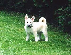 Side view - A tan with white Norwegian Buhund puppy is standing in grass looking towards the camera.