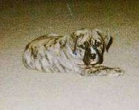 A brown brindle Olde English Bulldogge puppy is laying across a carpet with its back forward looking forward.